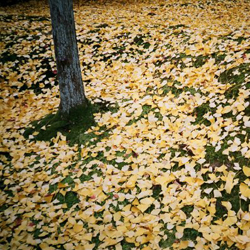Photo of the ground in yellow ginkgo leaves