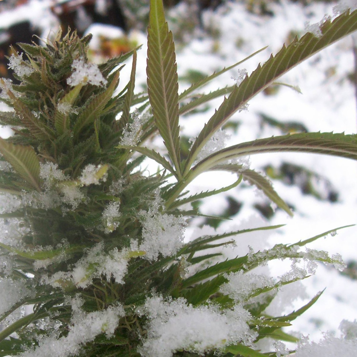 Cannabis in the cold. Photo.